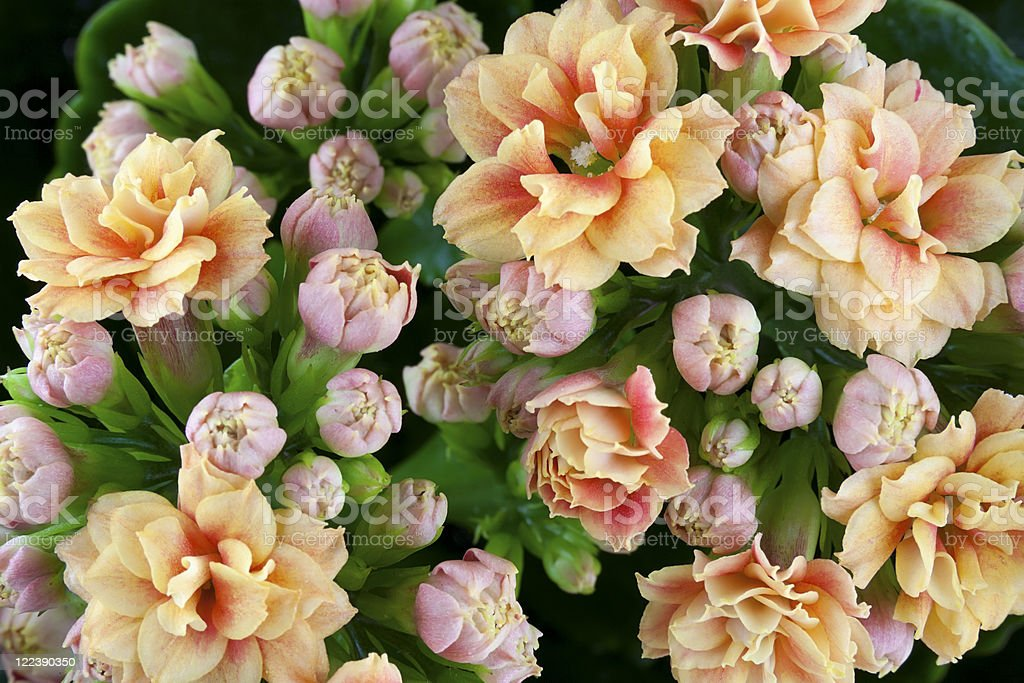 "Inflorescences of a decorative indoor plant  ""Kolanhoe"" stock photo"