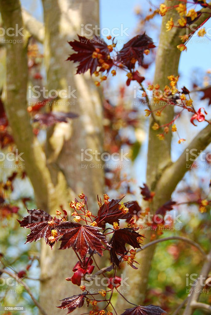 Inflorescense of the Norway maple tree stock photo