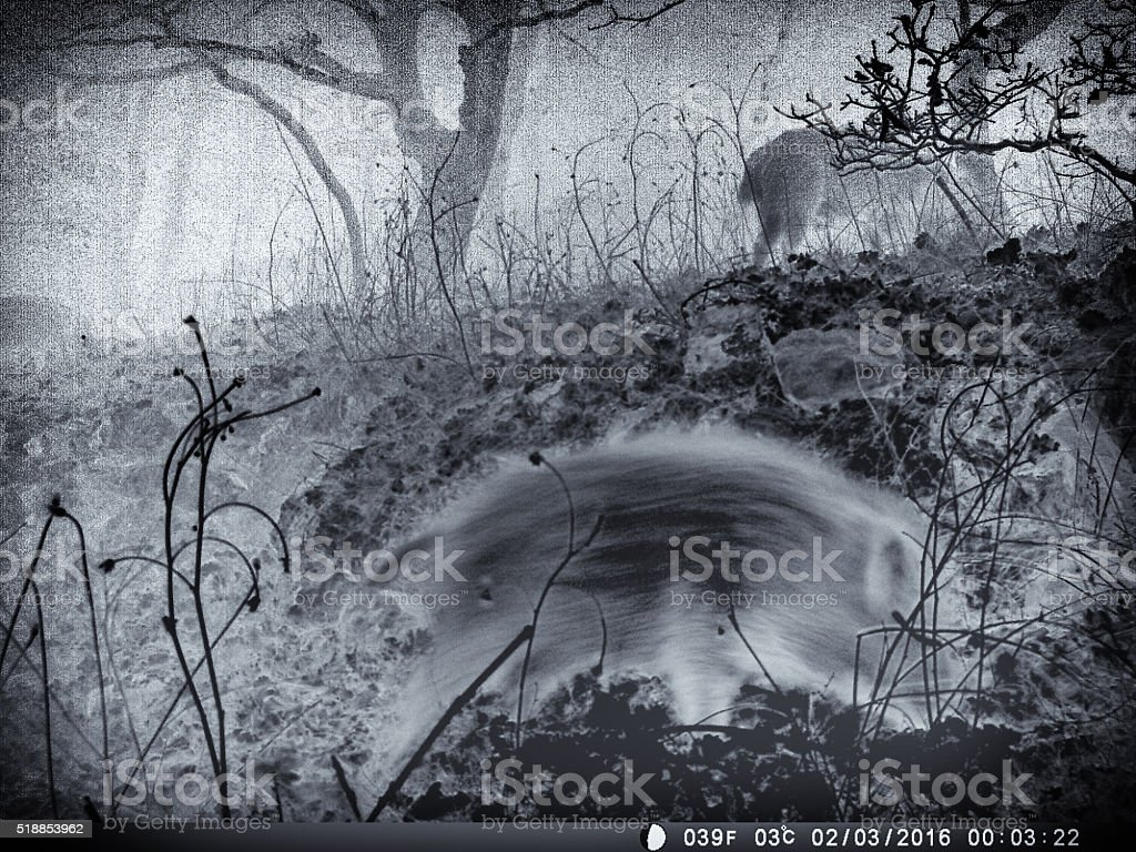 Infra-red night shot of wild boar stock photo