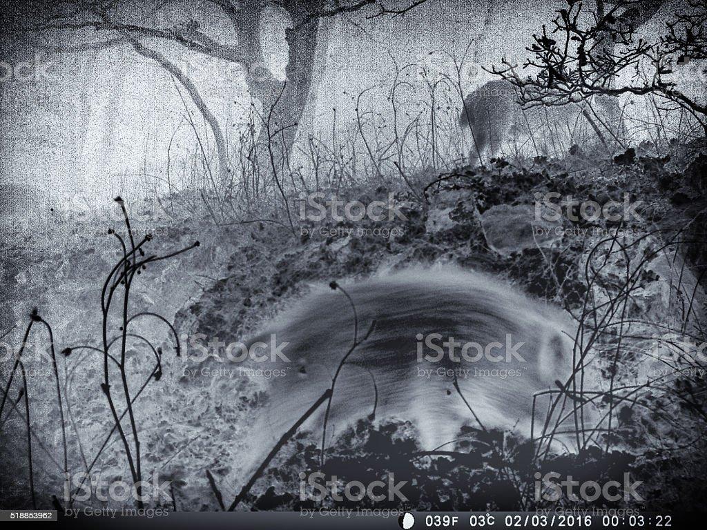 Infra-red night shot of wild boar stock photo