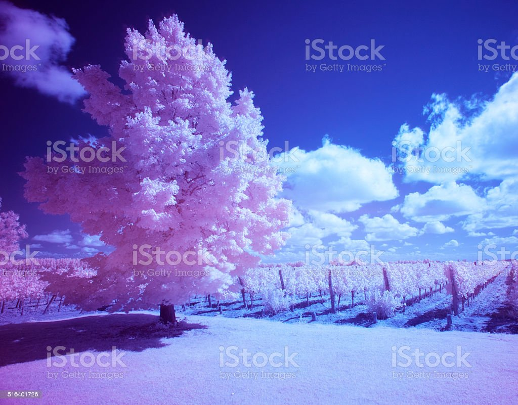Infrared photography tree in a vineyard stock photo