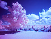 Infrared photography tree in a vineyard