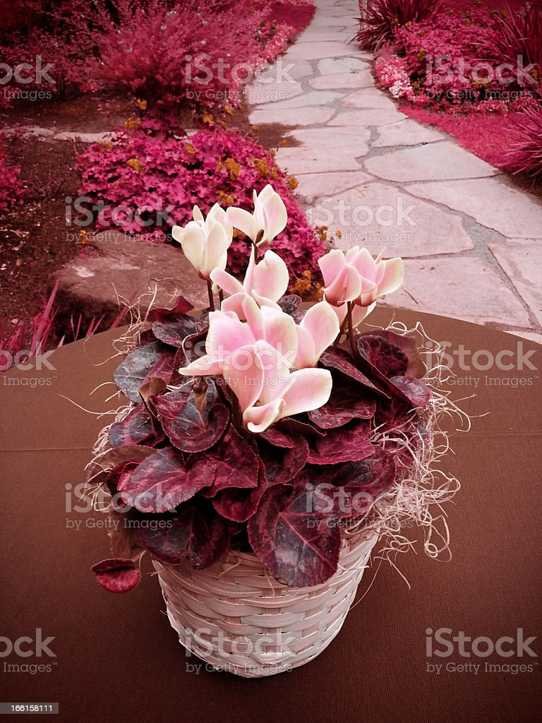 Infrared Pink Roses on Outdoors Table stock photo