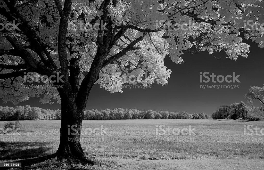 Infrared Tree stock photo