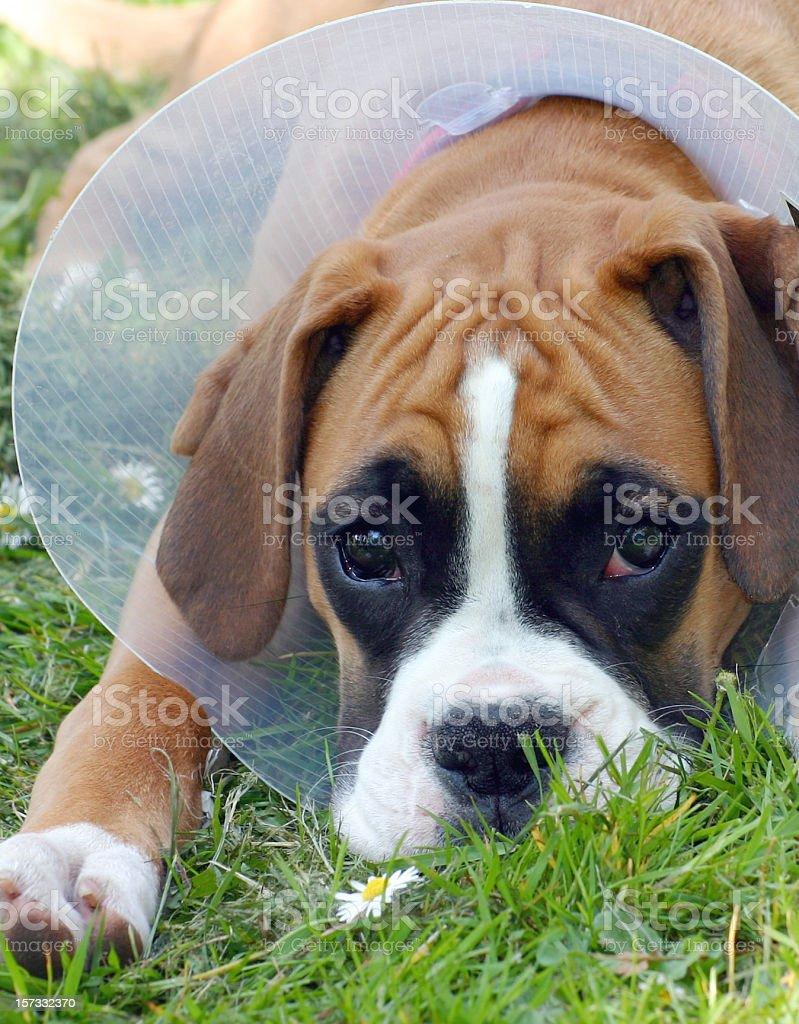 Injured boxer puppy got ruff royalty-free stock photo