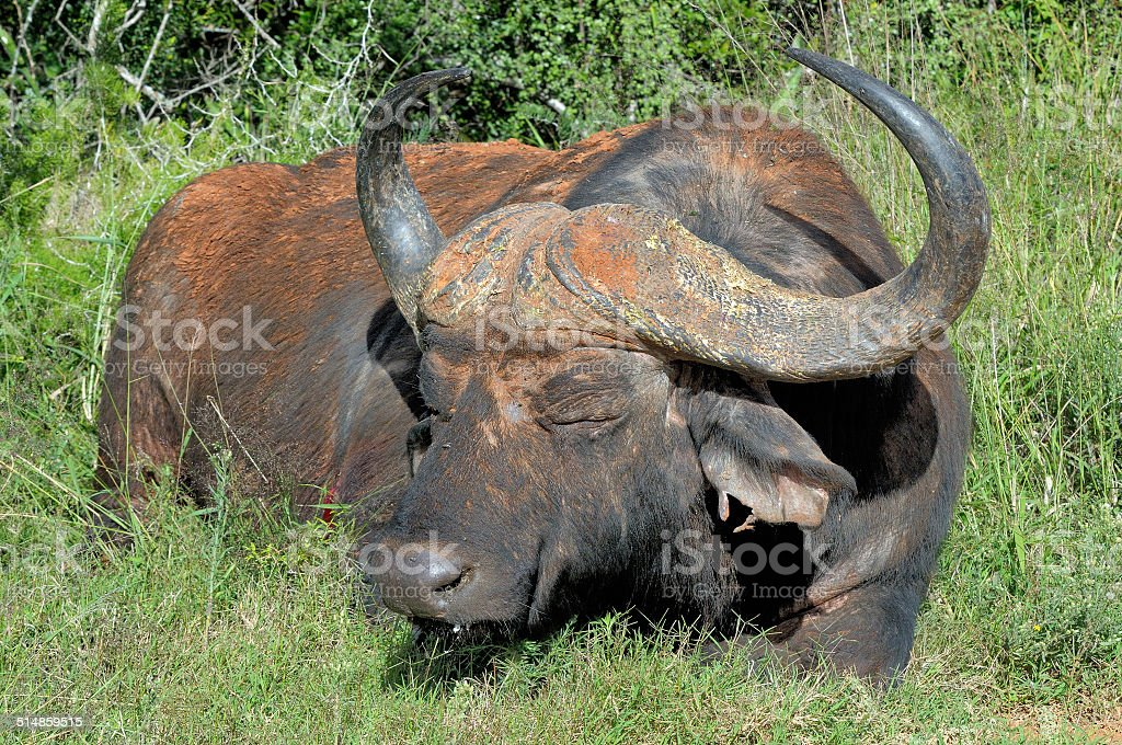 Injured Cape Buffalo stock photo