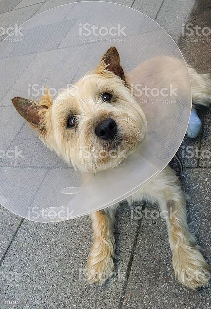 Injured dog with vet collar outoor stock photo