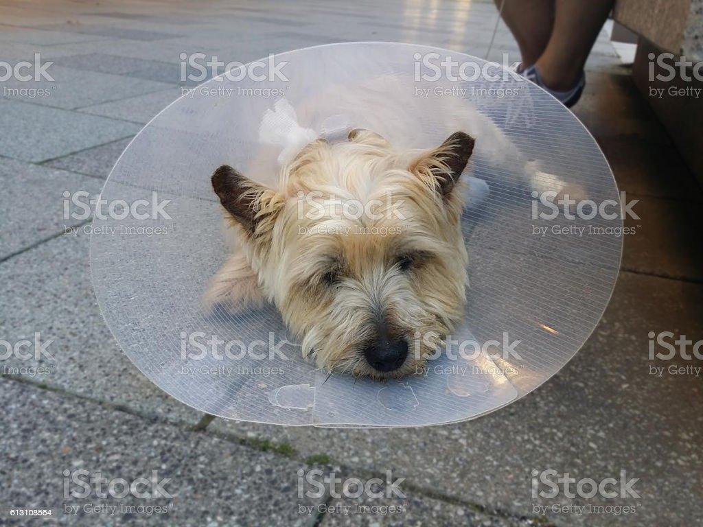 Injured dog with vet collar stock photo