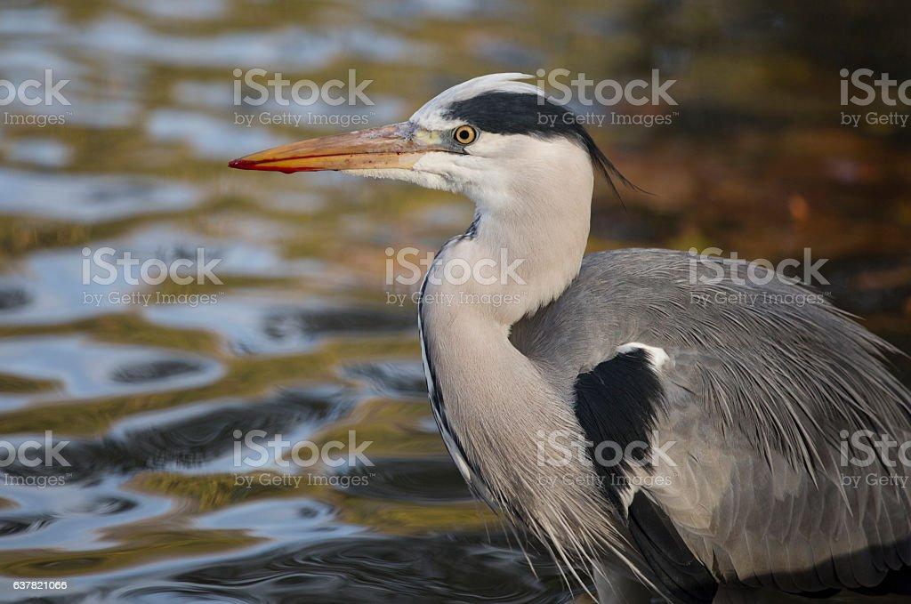Injured Grey Heron stock photo