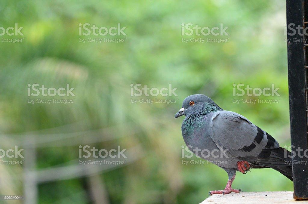 Injured Pigeon stock photo