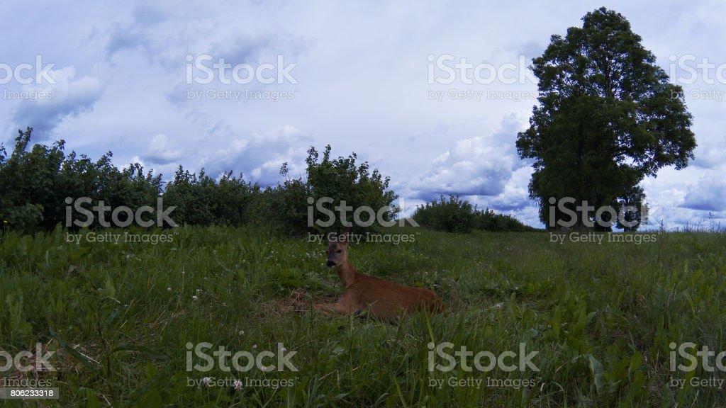Injured roe-deer stock photo
