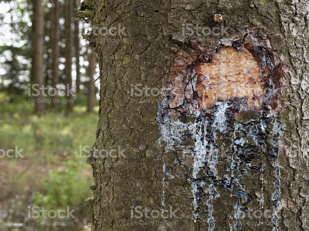 Injured spruce (Picea) resin bleed from the wound stock photo