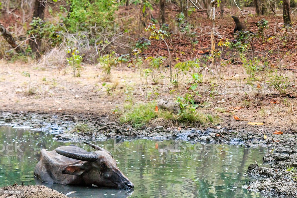 Injured water Buffalo in a pool with Komodo Dragons stock photo
