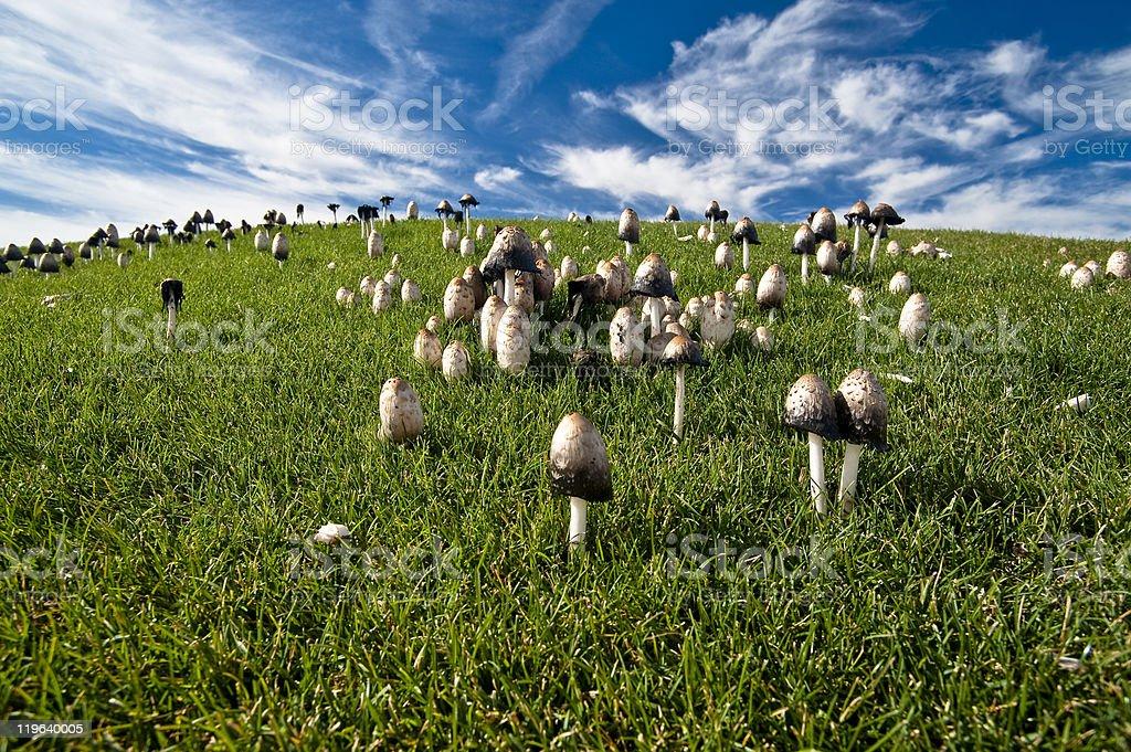 Ink Cap Mushrooms on Grassy Hillside royalty-free stock photo