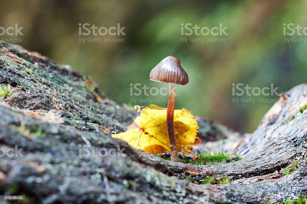 Inkcap Mushroom - Toadstool stock photo