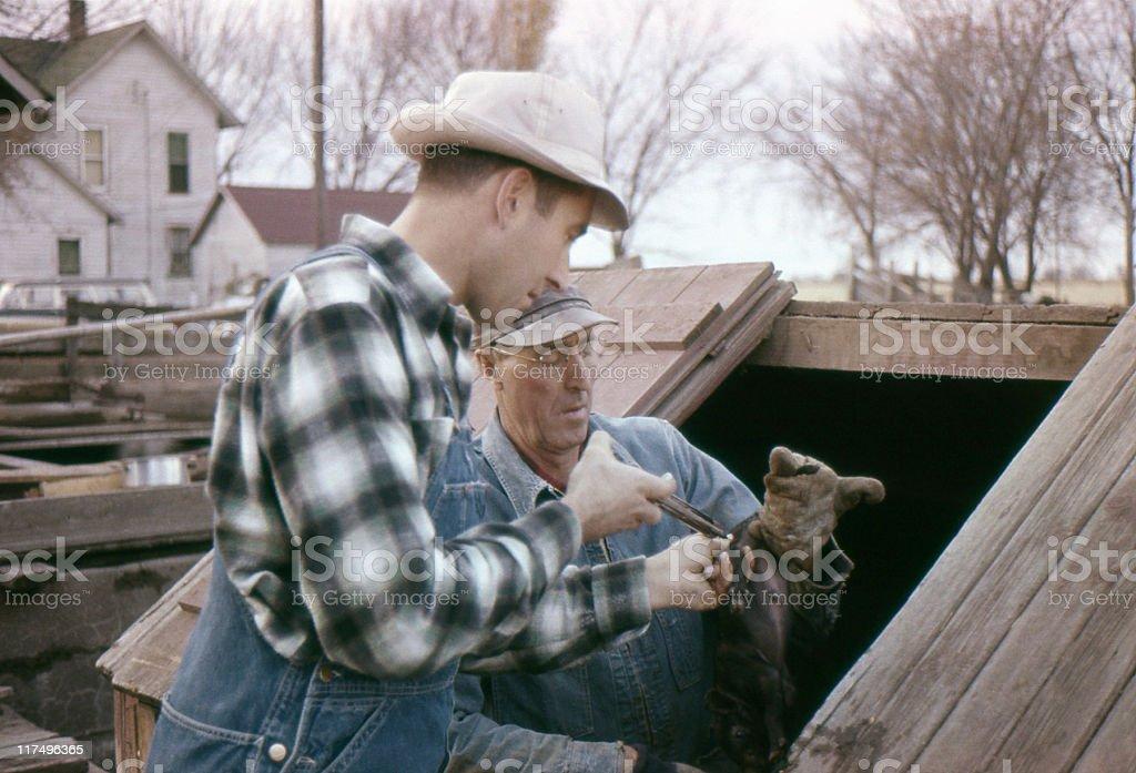 inoculating baby pigs 1960, retro stock photo