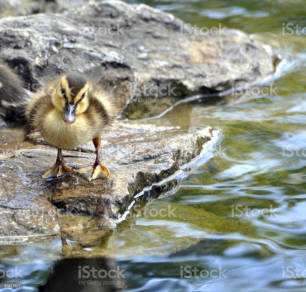 Inquisitive Baby Duck stock photo