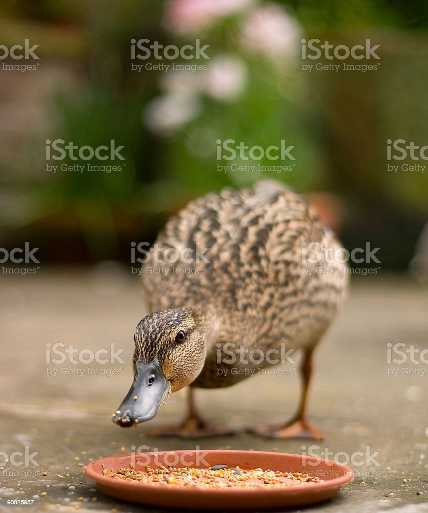 Inquisitive Duck stock photo