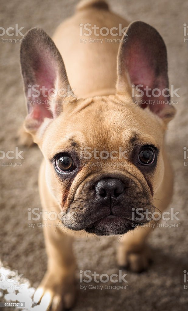 Inquisitive French Bulldog Puppy stock photo