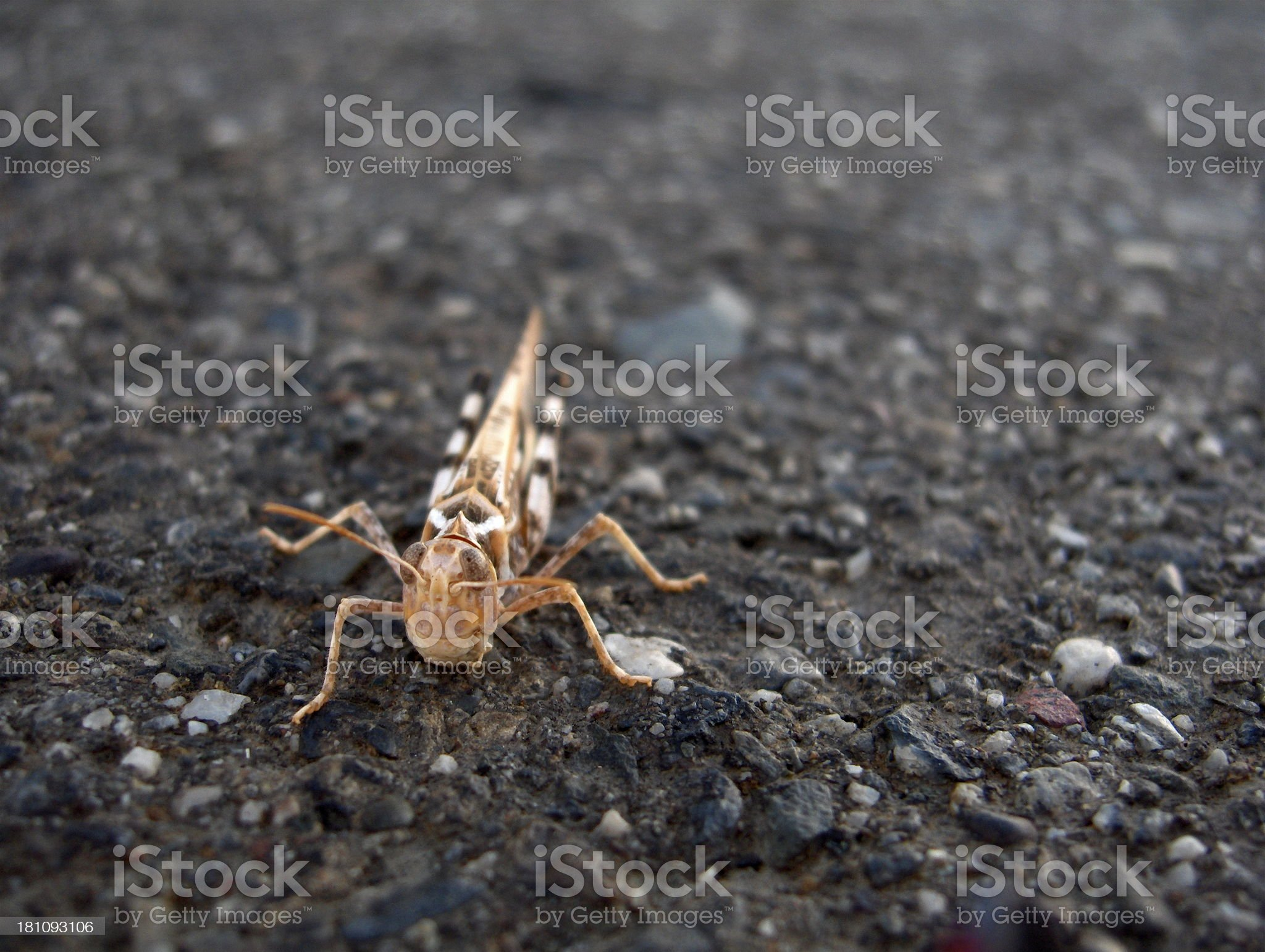 Inquisitive Grasshopper royalty-free stock photo