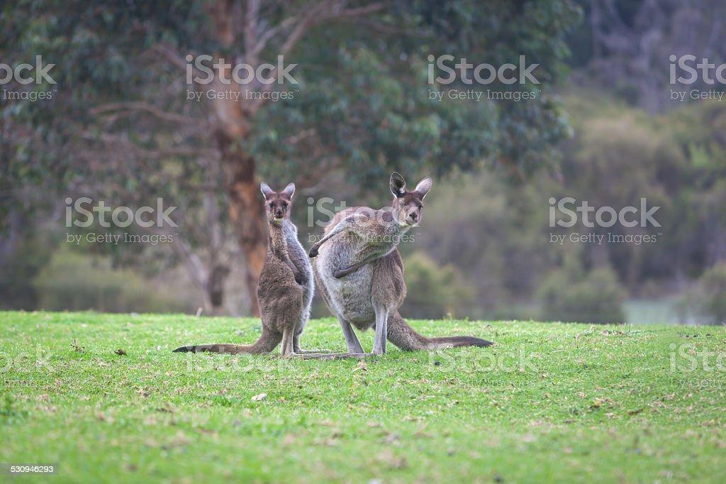 Inquisitive Kangaroos stock photo