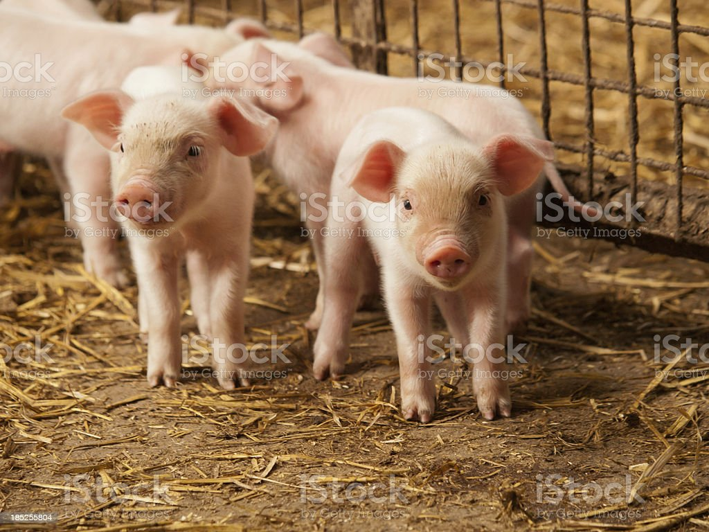 Inquisitive little pigs royalty-free stock photo