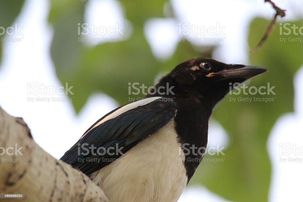 Inquisitive magpie stock photo