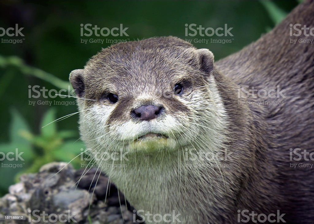 Inquisitive Otter staring at camera royalty-free stock photo