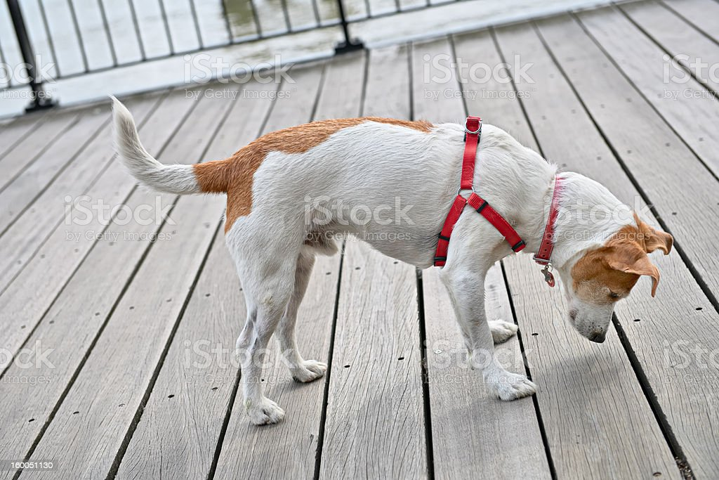 Inquisitive Parson Jack Russell Terrier stock photo