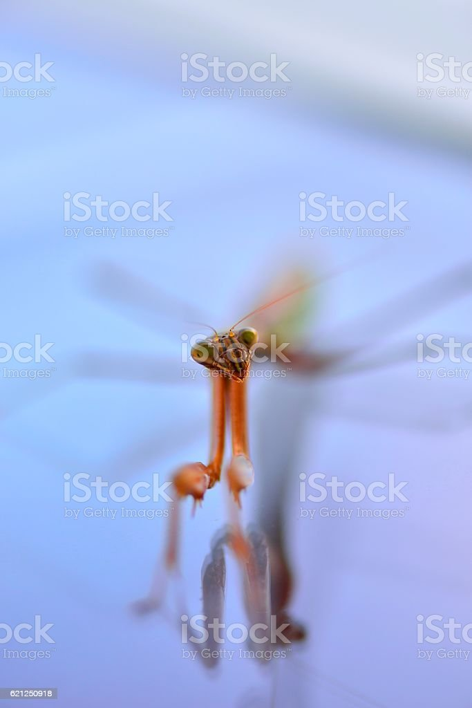 Inquisitive Praying Mantis Insect stock photo