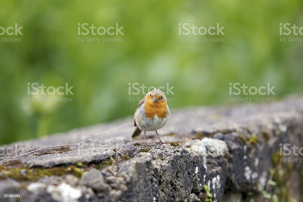 Inquisitive Robin royalty-free stock photo