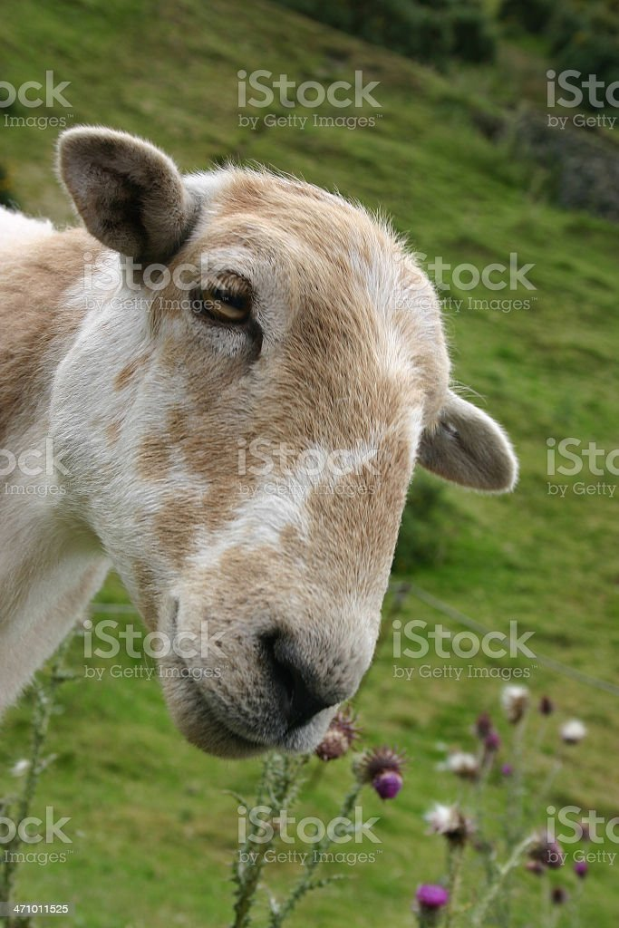 inquisitive sheep royalty-free stock photo