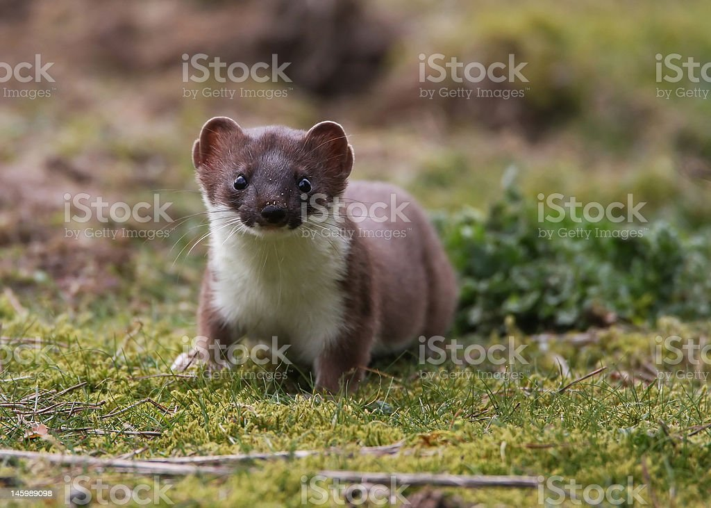 Inquisitive Stoat stock photo