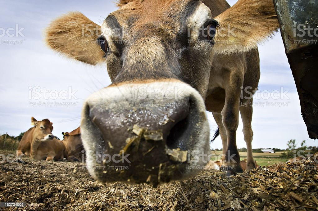 Inquisitive Young Jersey Cow in the Field royalty-free stock photo