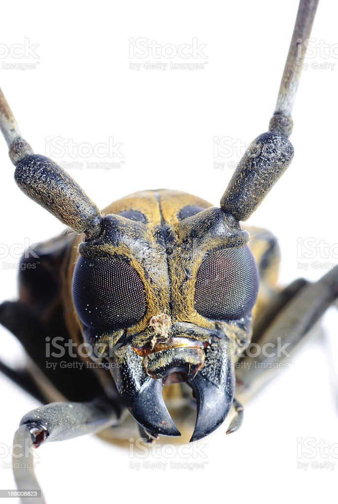 insec long horn beetle stock photo