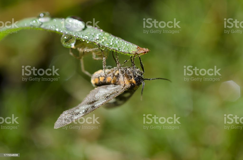 Insect And Dew In The Morning royalty-free stock photo