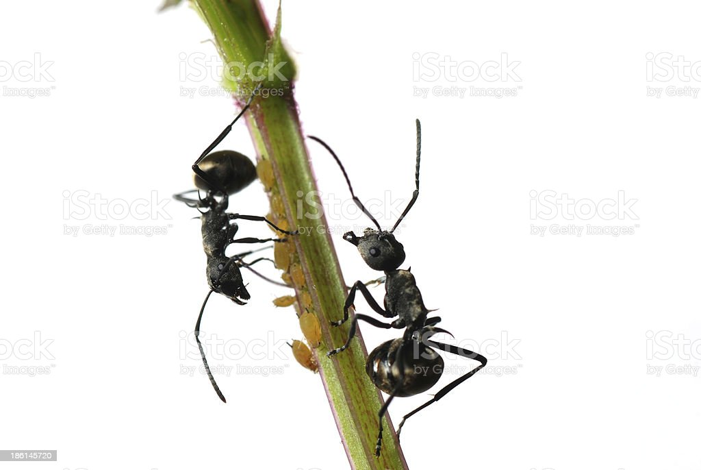 insect ant and aphid isolated royalty-free stock photo