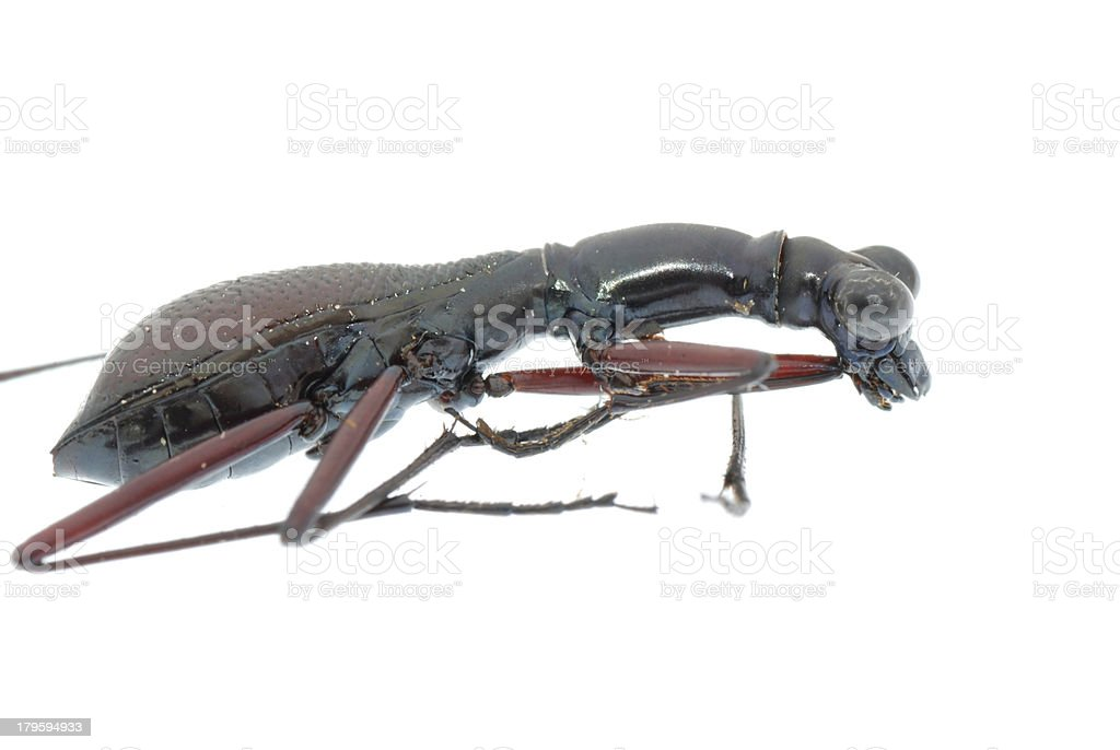 insect ant beetle isolated royalty-free stock photo