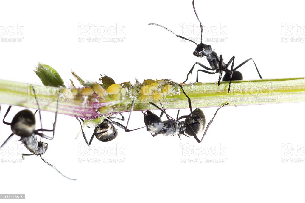 insect ant royalty-free stock photo