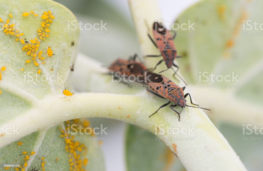 insect attacking Aphids on the endangered plant stock photo