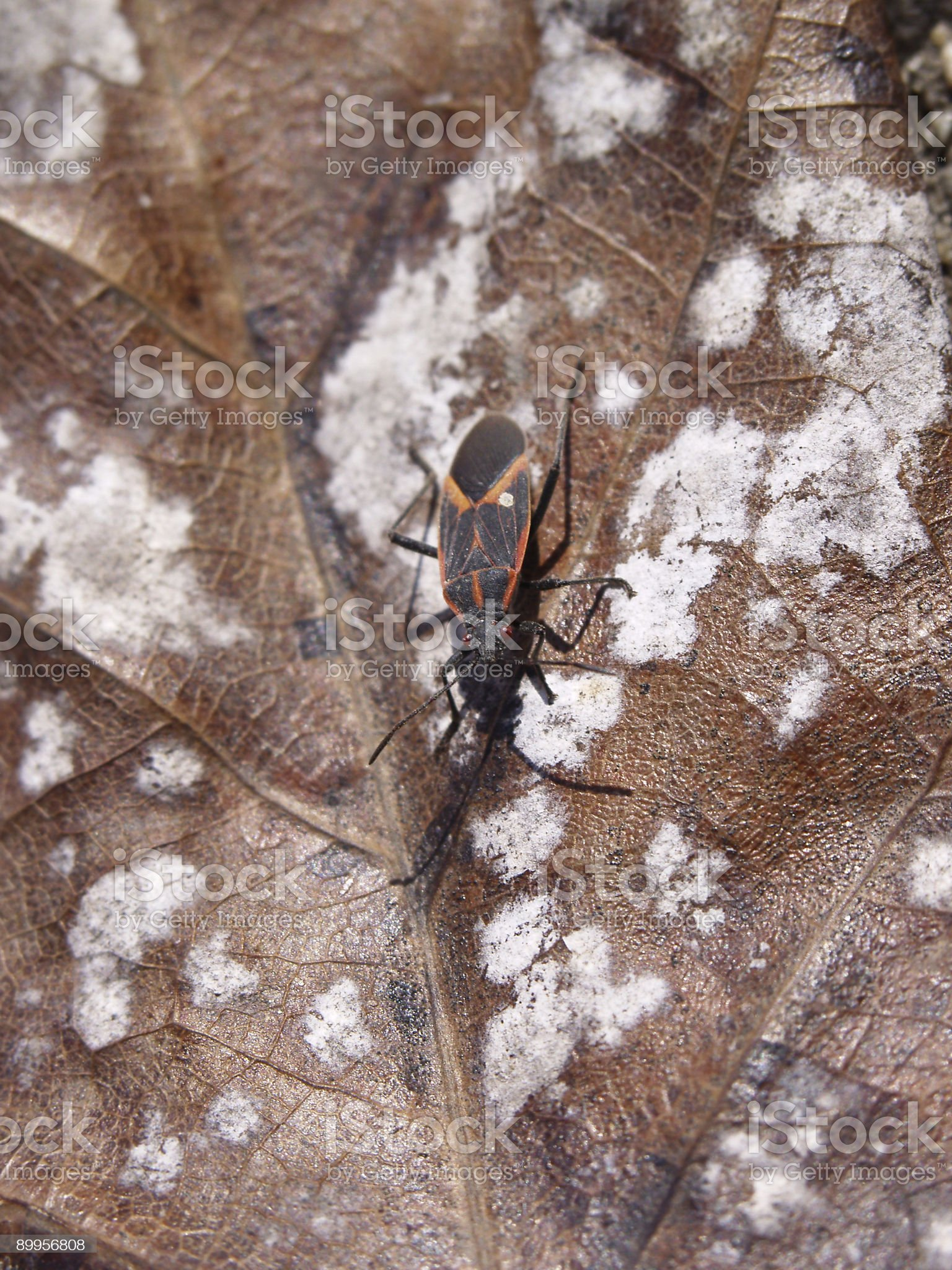 Insect - Box Elder Bug royalty-free stock photo