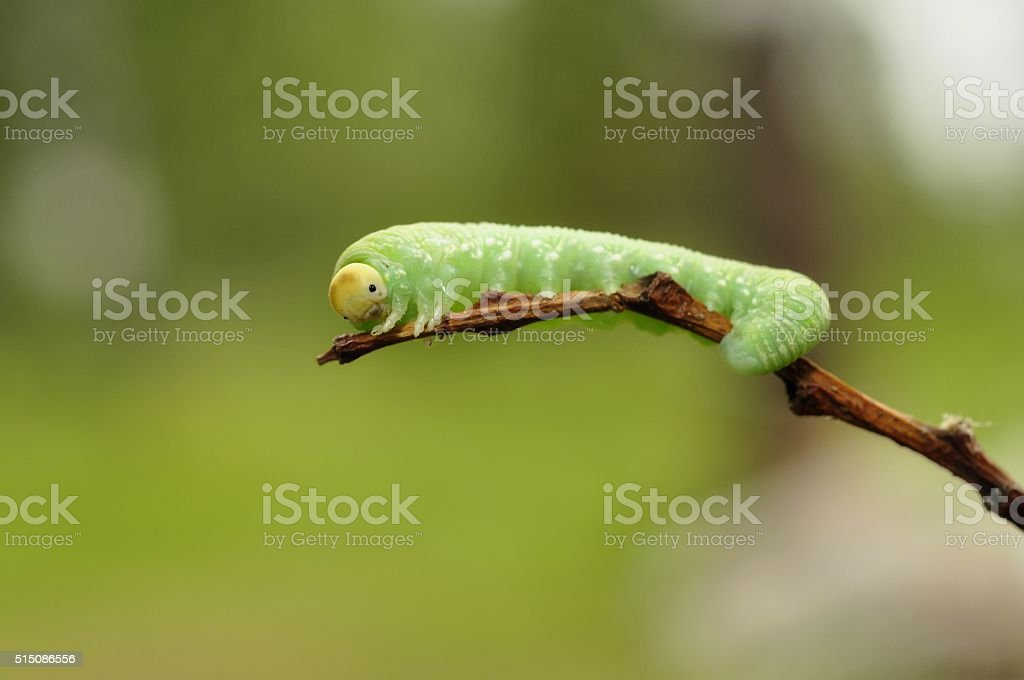insect caterpillar, close-up stock photo