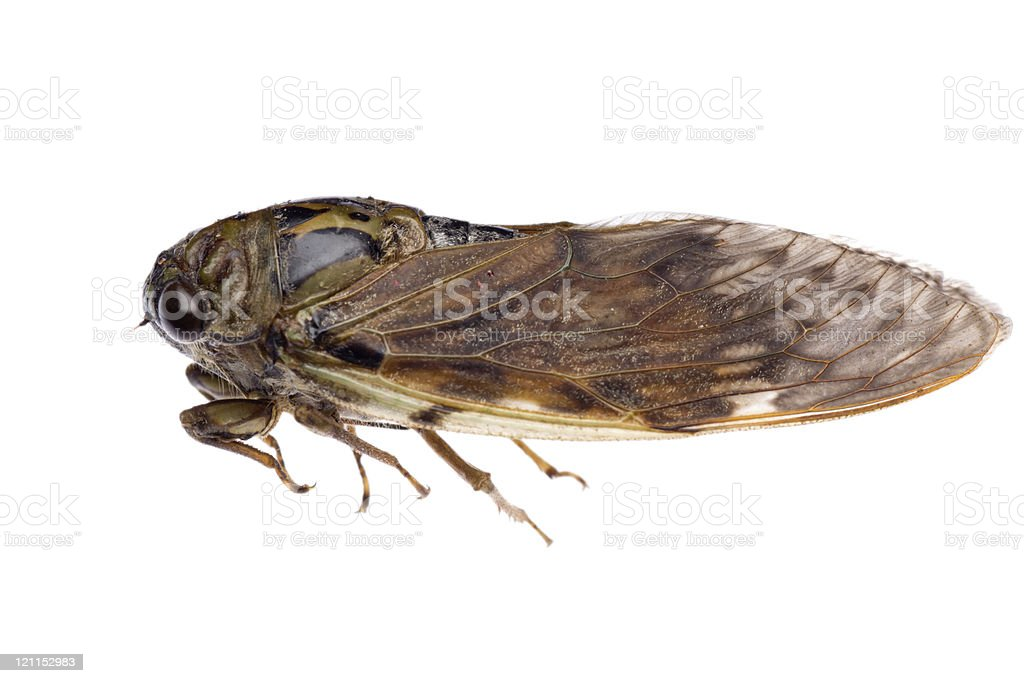 insect cicada stock photo