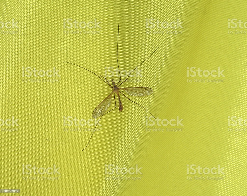 Insect Crane Fly stock photo