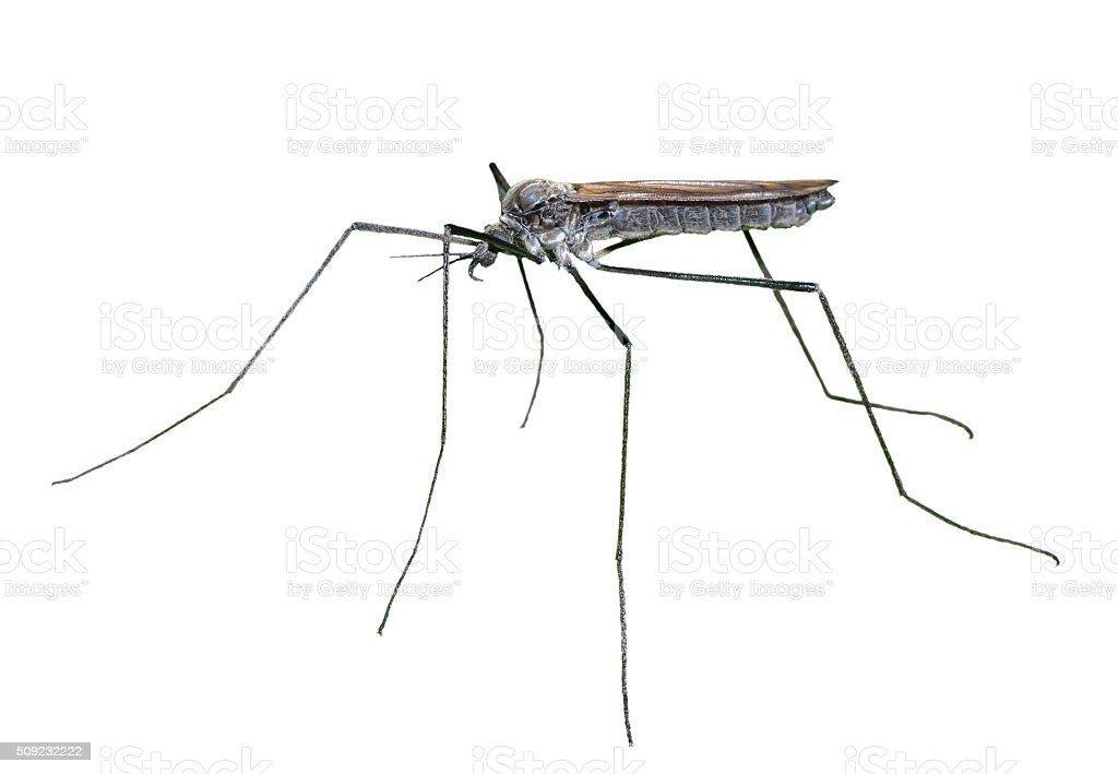 Insect daddy-long-legs stock photo