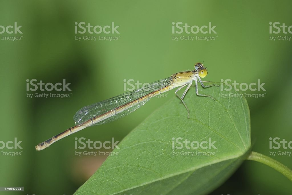 insect dragonfly royalty-free stock photo