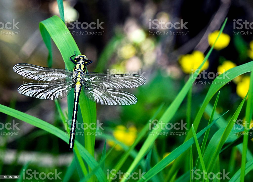 Insect - Dragonfly stock photo