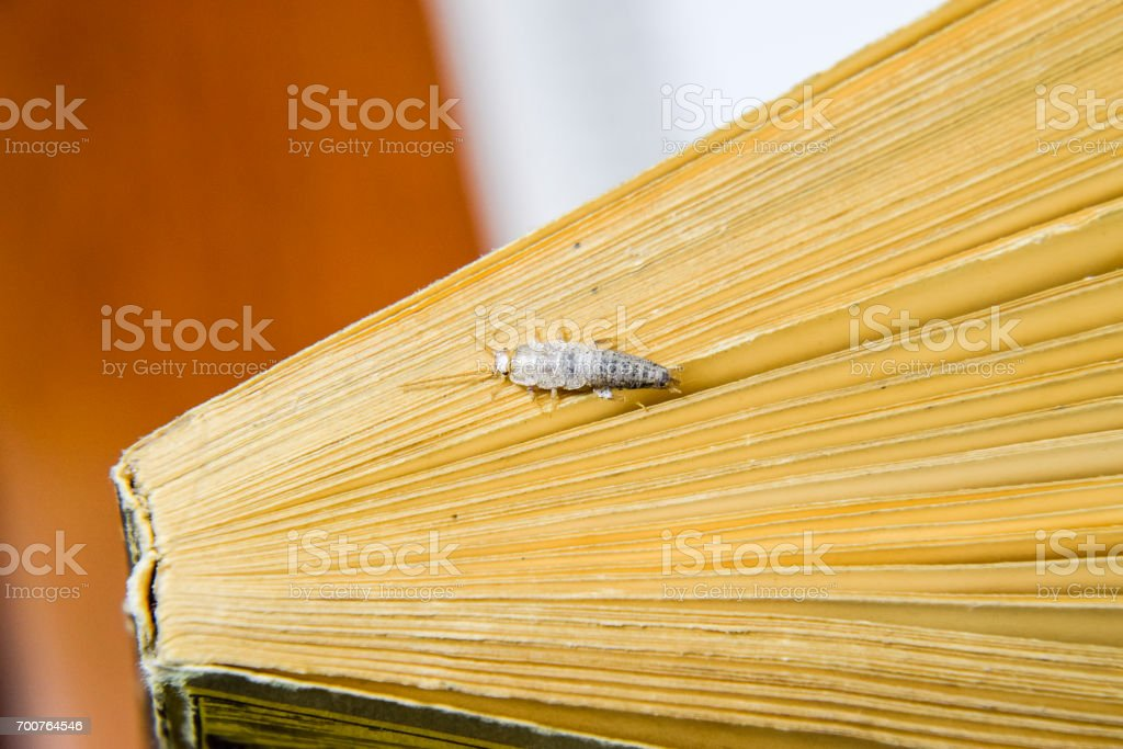 Insect feeding on paper - silverfish. Silverfish at the end of the book. stock photo