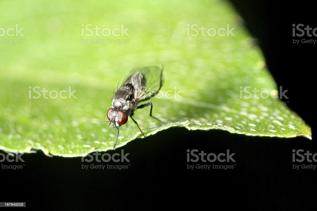 insect fly macro royalty-free stock photo