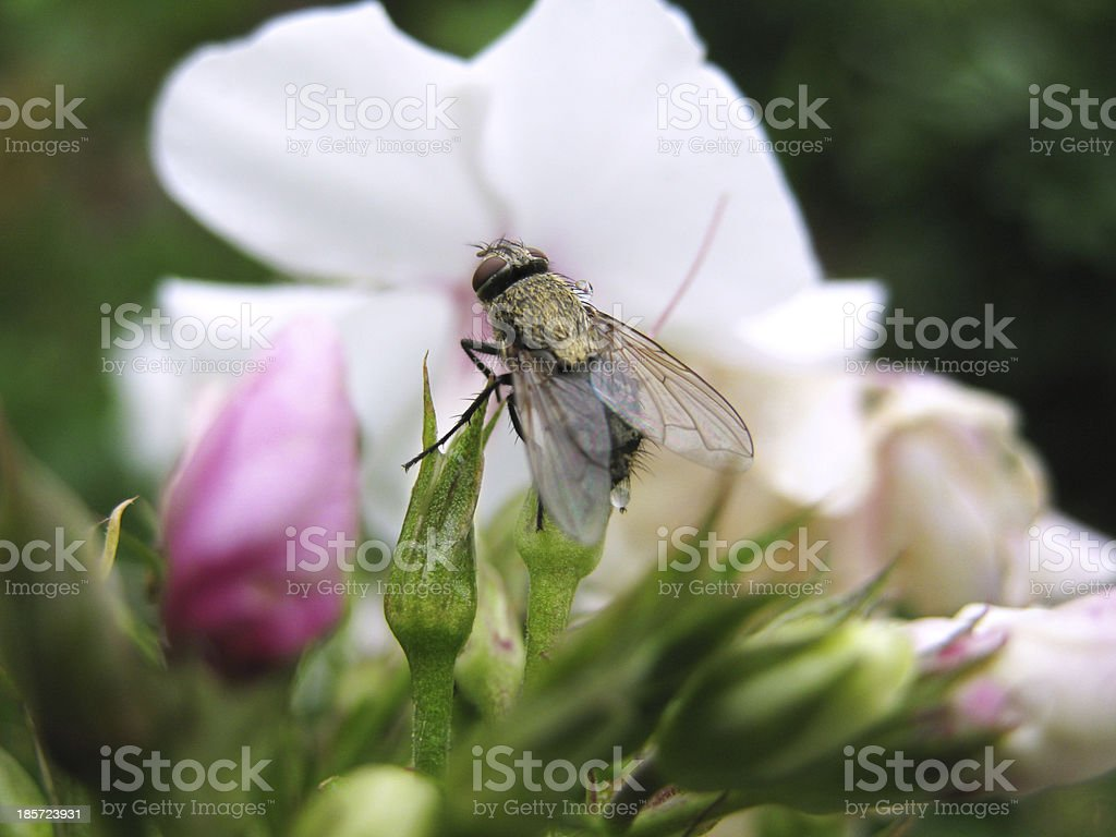 insect fly royalty-free stock photo